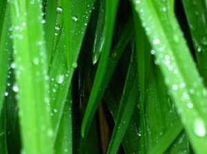 Dew shown on blades of grass