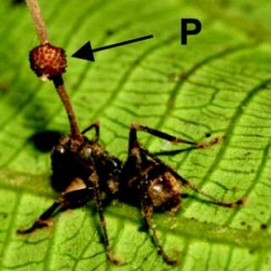 Fungus turns certain types of ants into zombies